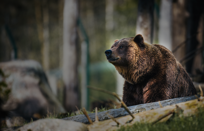 Bear Photo by Janko Ferlič on Unsplash